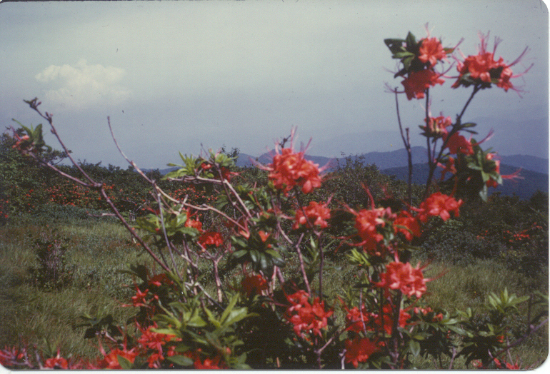 Flame Azalea photograph may take some time to load...it is worth the wait!  You may want to scan down the page reading the text and come back to view the beauty from the top of Gregory's Bald in the Great Smoky Mountains National Park